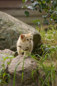 Песчаный кот, барханная кошка