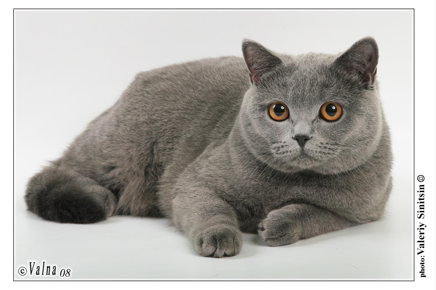 Кот смесь британского