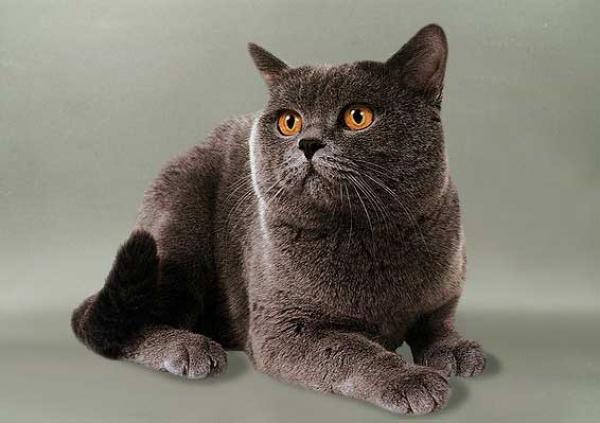 Короткошерстные кошки город кошек