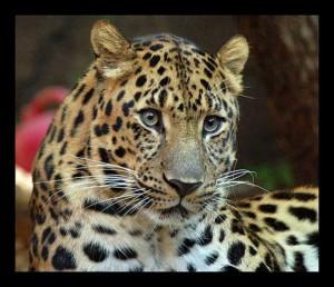 леопард - дикая кошка