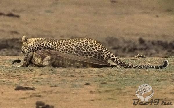 леопард и крокодил