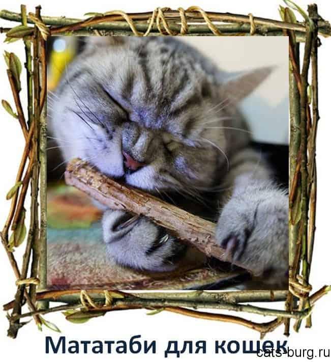 мататаби для кошек - что это
