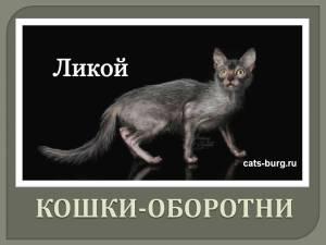 Порода кошек ликой. Кошка-оборотень