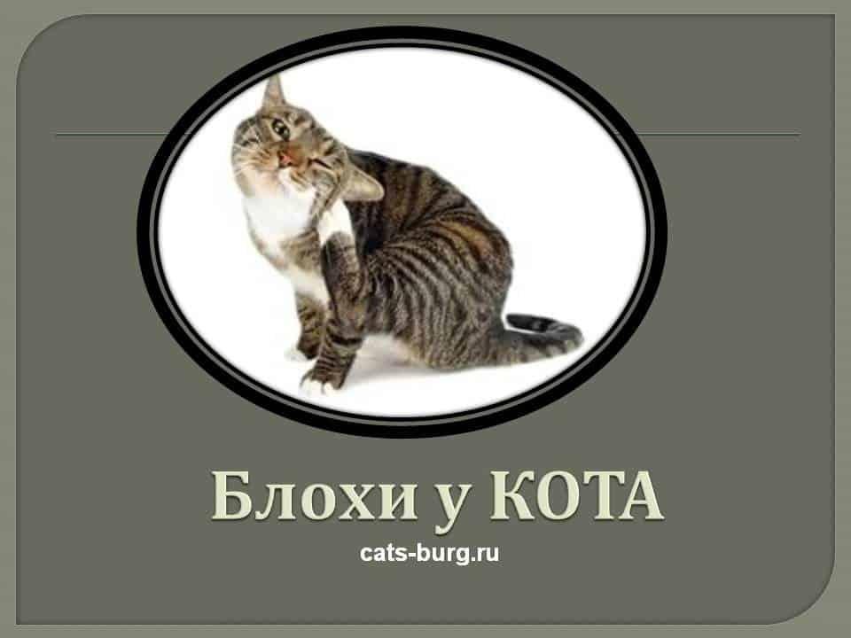 как избавиться от блох у домашней кошки