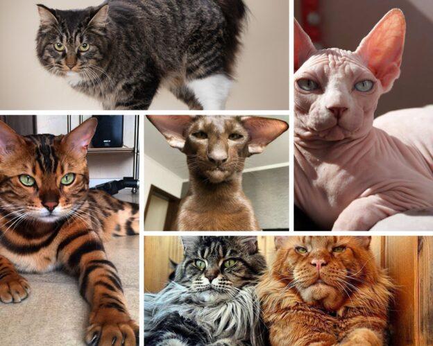 Породы кошек с характером