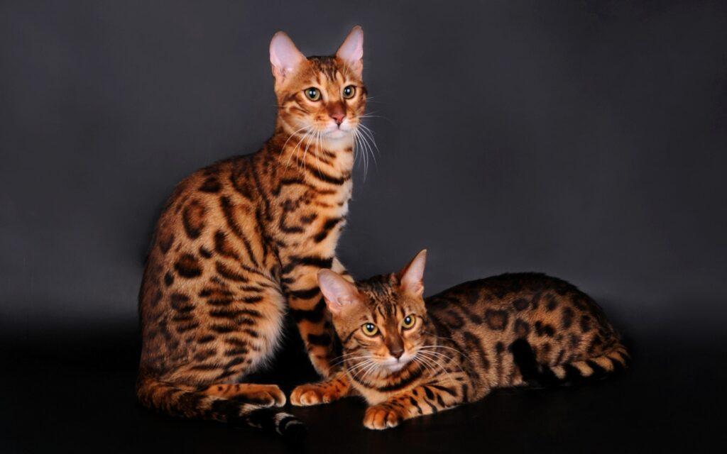 породы кошек бенгалы
