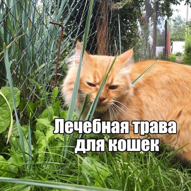 trava-dlya-koshek