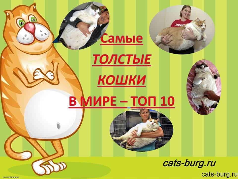 самые толстые кошки в мире - топ10
